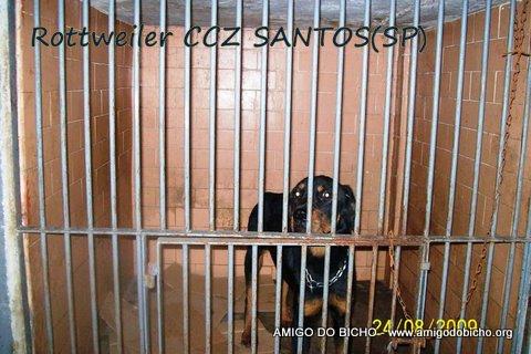 Rottweiler CCZ Santos